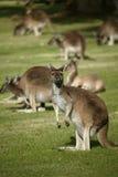 австралийский кенгуру Стоковое Изображение