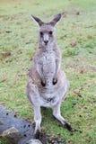 австралийский кенгуру Стоковое Изображение RF