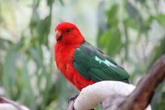 Австралийский король Попугай (scapularis Alisterus) Стоковые Фотографии RF