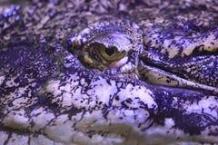 австралийский крокодил пресноводный Стоковые Изображения RF