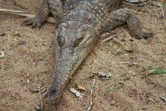 австралийский крокодил пресноводный Стоковая Фотография RF