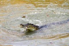 Австралийский крокодил соленой воды Стоковые Изображения