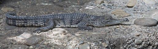 австралийский крокодил Стоковое Изображение