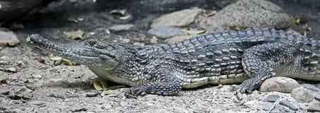 австралийский крокодил Стоковые Фотографии RF