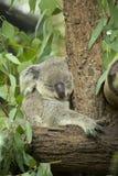 Австралийский медведь коалы сидя на ветви Стоковое Изображение