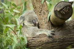Австралийский медведь коалы сидя на ветви Стоковые Фотографии RF