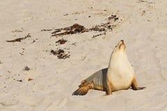 Австралийский морсой лев загорая на песке на заливе уплотнения, кенгуру Isl Стоковое Фото