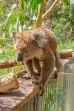 Австралийский остров Филиппа коалы Стоковое Изображение RF