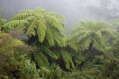 Австралийский папоротник дерева в тумане Стоковая Фотография RF