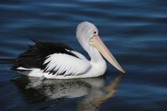 Австралийский пеликан в Виктории, Австралии стоковая фотография
