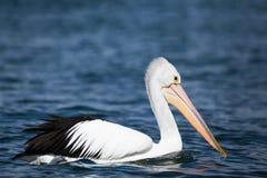 Австралийский пеликан на голубом реке - Тасмании Стоковые Фотографии RF