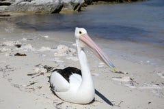Австралийский пеликан стоковое фото rf
