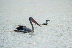 австралийский пеликан стоковое фото