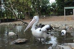 австралийский пеликан Стоковые Фото
