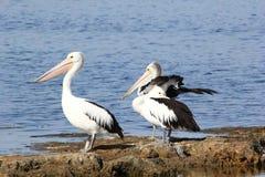 Австралийский пеликан - Coorong Стоковые Изображения RF