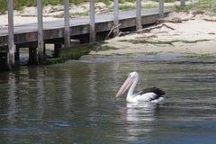 австралийский пеликан pelecanus conspicillatus Стоковое Изображение RF
