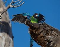 Австралийский попугай ringneck стоковое фото rf