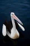 Австралийский портрет пеликана Стоковая Фотография RF