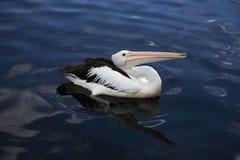 Австралийский портрет пеликана Стоковое Изображение
