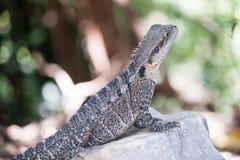 Австралийский дракон воды, Квинсленд, Австралия Стоковые Изображения RF