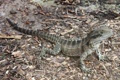Австралийский дракон воды стоковые изображения