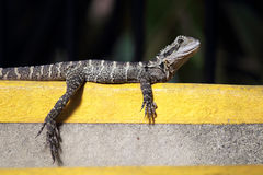 Австралийский дракон воды & x28; Lesueurii& x29 Intellagama; Стоковое Изображение