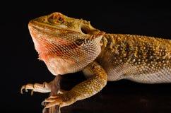 Австралийский дракон в ветви стоковые изображения