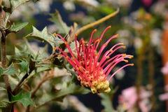 Австралийский родной wildflower - Grevillia стоковое фото