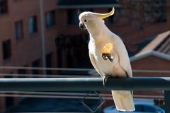 Австралийский Сер-crested какаду есть шутиху Cacatua ga Стоковая Фотография