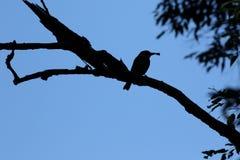 Австралийский силуэт птицы мясника Стоковые Фотографии RF