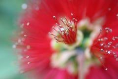 австралийский уроженец цветка Стоковая Фотография