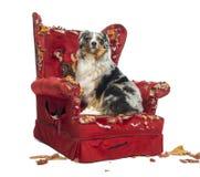 Австралийский чабан сидя на detroyed изолированном кресле, стоковое фото rf