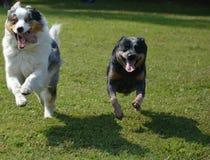 Австралийский чабан с австралийской собакой скотин Стоковое фото RF