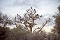 Австралийский черный какаду Стоковое Фото