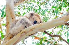 австралийский koala медведя Стоковые Изображения RF