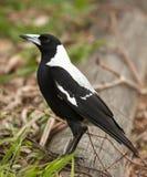 австралийский magpie Стоковые Фото