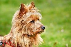 австралийский terrier Стоковое Изображение