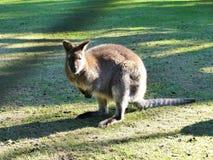 Австралийский wallaby на зеленой лужайке в petting зоопарке Стоковые Изображения