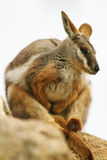 австралийский wallaby утеса Стоковая Фотография