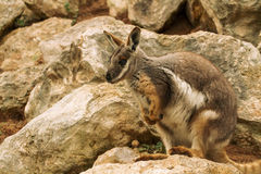 австралийский wallaby утеса Стоковое фото RF