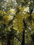 австралийский wattle Стоковые Фото