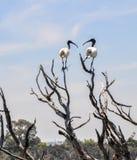 2 австралийских белых Ibises: Визуальный контакт Стоковое Изображение