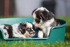 2 австралийских щенят чабана в корзине собаки Стоковое Фото