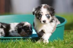 2 австралийских щенят чабана в корзине собаки Стоковое фото RF