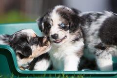 2 австралийских щенят чабана в корзине собаки Стоковые Фотографии RF