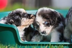 2 австралийских щенят чабана в корзине собаки Стоковые Изображения RF
