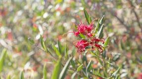 Австралийское великолепие Grevillea wildflower Стоковое Фото