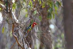 Австралийское восточное Rosella Стоковая Фотография