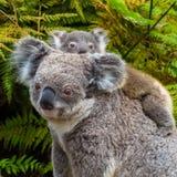 Австралийское животное медведя коалы родное с младенцем Стоковое Фото