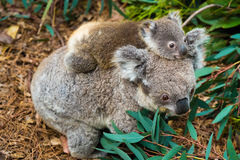 Австралийское животное медведя коалы родное с младенцем Стоковые Фото